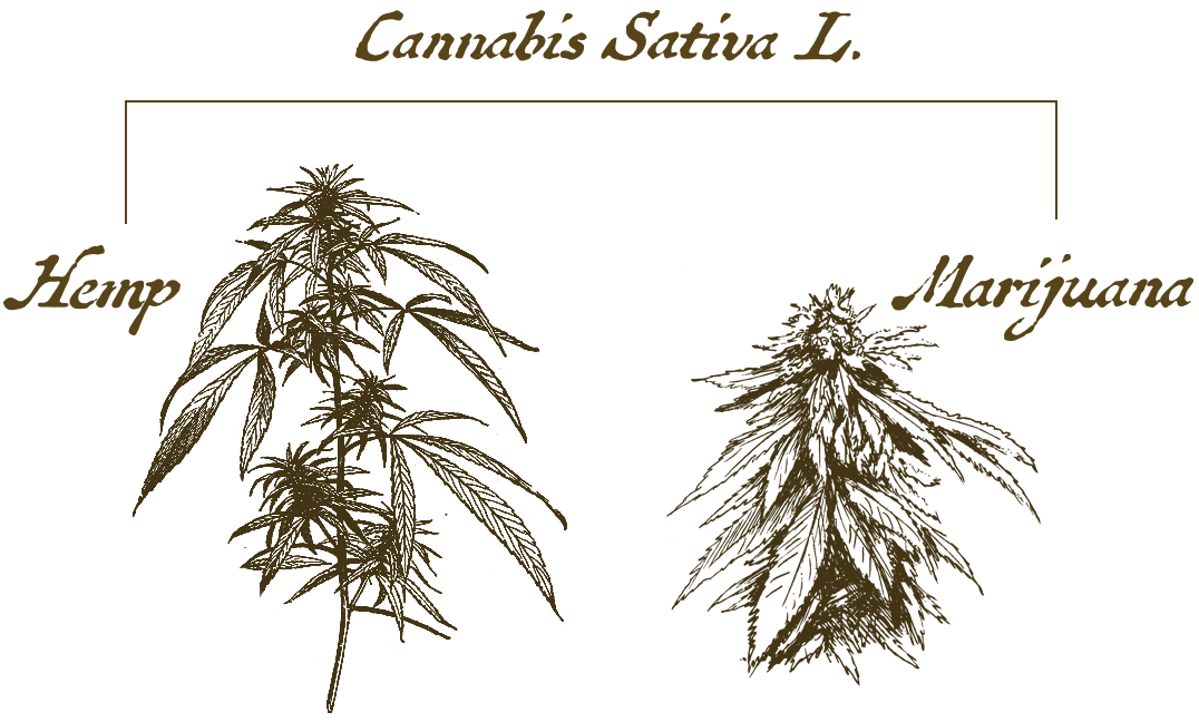 Lab Effects Cannabis Derived Hemp Versus Marijuana