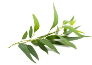 Terpenes in Eucalyptus